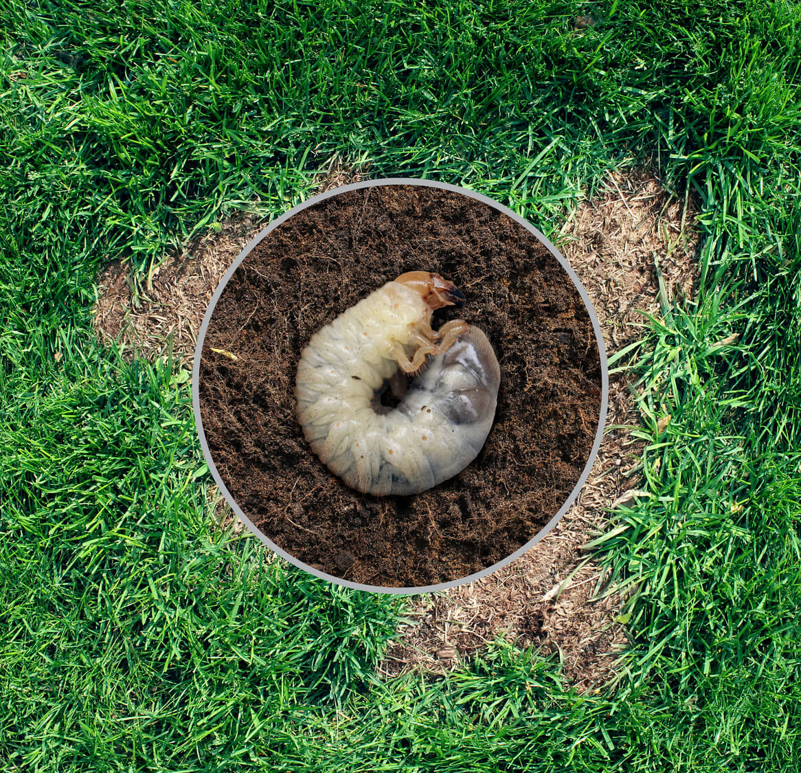 Protect Your Lawn Against Grubs